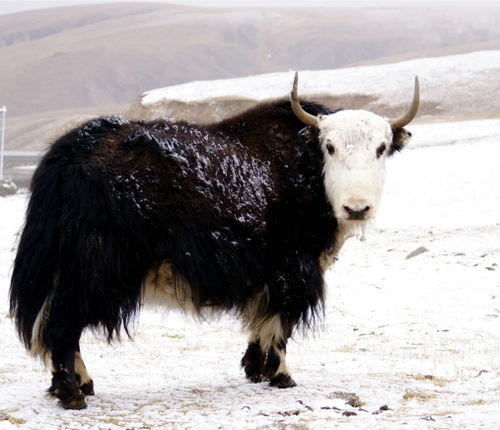 Yaks...The official animal of Tibet
