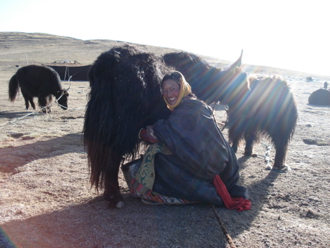 Milking_the_yak_2
